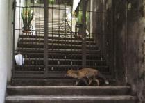 La volpe in giro per Torino [Foto]